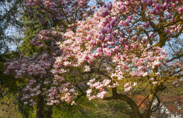 Magnolia (Tulpenbaum)